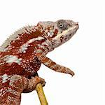 Chameleon Furcifer Pardalis - Masoala (4 years) in front of a white background Stock Photo - Royalty-Free, Artist: isselee                       , Code: 400-04571953