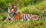 Large Orange Striped Sumatran Tiger, Pantherea Tigris Sumatrae, Lying in the Grass Looking     Stock Photo - Royalty-Free, Artist: BillPerry                     , Code: 400-04572522