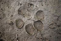 Beast footmark in the mud Stock Photo - Royalty-Freenull, Code: 400-04574324