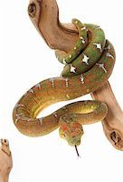 snake skin - Emerald Tree Boa (female) on a branch against a white background. Stock Photo - Royalty-Freenull, Code: 400-04583845