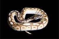 snake skin - Albino Spider Ball Python against black background. Stock Photo - Royalty-Freenull, Code: 400-04583947