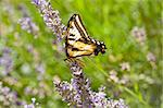 Western Tiger Swallowtail, Papilio rutulus, in field of Lavender Stock Photo - Royalty-Free, Artist: south12th                     , Code: 400-04591229