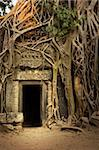 Ficus Strangulosa tree growing over a doorway in the ancient ruins of Ta Prohm at the Angkor Wat site in Cambodia