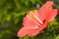 flores - Image of bright scarlet hibiscus flower somewhere in garden Stock Photo - Royalty-Freenull, Code: 400-04594617