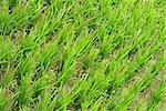 It is a green new rice land background. Stock Photo - Royalty-Free, Artist: elwynn                        , Code: 400-04596744
