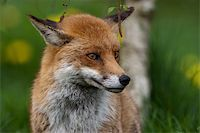 Red Fox in British Countryside Stock Photo - Royalty-Freenull, Code: 400-04599657