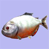 piranha fish - Piranha fish in water With Clipping Path Stock Photo - Royalty-Freenull, Code: 400-04604654