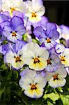 Blooming purple and yellow pansy flowers close up Stock Photo - Royalty-Free, Artist: Elenathewise                  , Code: 400-04605511