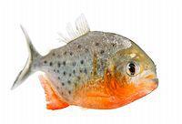 piranha fish - Piranha - Serrasalmus nattereri in front of a white background Stock Photo - Royalty-Freenull, Code: 400-04617038