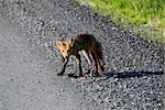 Picture of a Red Fox who did catch his lunch Stock Photo - Royalty-Free, Artist: nialat                        , Code: 400-04623198