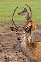 people mating - red deer buck framing its mate with his antlers Stock Photo - Royalty-Freenull, Code: 400-04624542