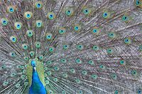 people mating - A peacock showing off his colors Stock Photo - Royalty-Freenull, Code: 400-04624680