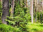Young spruce at sunny summer forest Stock Photo - Royalty-Free, Artist: naumoid                       , Code: 400-04639457