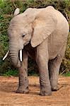 Portrait of a young elephant in the African bush Stock Photo - Royalty-Free, Artist: nightowlza                    , Code: 400-04651548