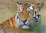 Close up of a Bengal Tiger enjoying a dip Stock Photo - Royalty-Free, Artist: scooperdigital                , Code: 400-04666935