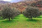 group of olive tree in green field and mountain background