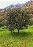 classic olive tree in green field , nature ackground