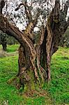 fine image of very old olive tree in green field