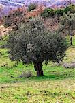 nature landscape, olive tree in green field