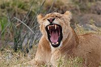 roar lion head picture - Yawning young lion in Kenya laying in the grass Stock Photo - Royalty-Freenull, Code: 400-04681220