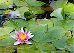 A wonderful water lily in an almost become overgrown pond. Stock Photo - Royalty-Free, Artist: toberl77                      , Code: 400-04681962
