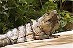 Iguana  Xel-Ha, Yucatan, Mexico Stock Photo - Royalty-Free, Artist: oralleff                      , Code: 400-04682048
