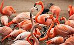 Flock of Beautiful Flamingos with narrow Depth of Field. Stock Photo - Royalty-Free, Artist: Feverpitched                  , Code: 400-04690991