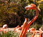 Two Beautiful Flamingos Performing Their Mating Ritual. Stock Photo - Royalty-Free, Artist: Feverpitched                  , Code: 400-04691127