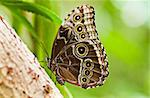Blue morpho tropical butterfly resting with wings closed. Open wings are beautiful blue coloured Stock Photo - Royalty-Free, Artist: Colette                       , Code: 400-04692820