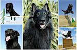 composite picture with purebred dogs belgian sheepdogs groenendael Stock Photo - Royalty-Free, Artist: cynoclub                      , Code: 400-04694665