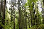 Fir Carpathian highland forest Stock Photo - Royalty-Free, Artist: Yaro75                        , Code: 400-04705557