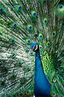 people mating - A beautiful peacock portrait with colorful feathers Stock Photo - Royalty-Freenull, Code: 400-04707618