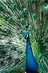 A beautiful peacock portrait with colorful feathers Stock Photo - Royalty-Free, Artist: szefei                        , Code: 400-04707618