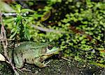 A bullfrog sitting on a log in a swamp. Stock Photo - Royalty-Free, Artist: brm1949                       , Code: 400-04715603