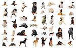 composite picture with purebred  dogs in a white background Stock Photo - Royalty-Free, Artist: cynoclub                      , Code: 400-04727821