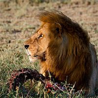 roar lion head picture - Supper of a lion. A having supper lion in the light of the coming sun with a meat piece. Stock Photo - Royalty-Freenull, Code: 400-04727848