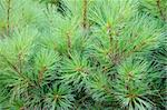 Prickly branches of fir Stock Photo - Royalty-Free, Artist: dvarg                         , Code: 400-04732009