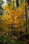 Pictorial yellow autumn rowan against the dark pine forest Stock Photo - Royalty-Free, Artist: Supertrooper                  , Code: 400-04734673