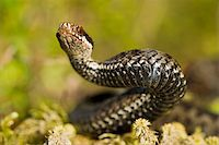 snake skin - The viper lies on green to a moss and has threateningly lifted a head. Stock Photo - Royalty-Freenull, Code: 400-04735642