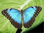 A Peleides Blue Morpho Butterfly (Morpho peleides) sits on a leaf. Stock Photo - Royalty-Free, Artist: Wirepec                       , Code: 400-04741048