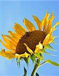 sunflower and bee over blue sky background Stock Photo - Royalty-Free, Artist: tetkoren                      , Code: 400-04746475