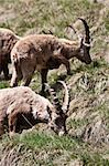 Gran Paradiso Park, Italy.  Capra Ibex in May. Stock Photo - Royalty-Free, Artist: Perseomedusa                  , Code: 400-04749682