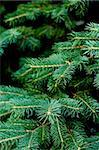 pine tree background Stock Photo - Royalty-Free, Artist: marylooo                      , Code: 400-04749771