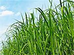 switch grass the renewable support for heating and diesel production Stock Photo - Royalty-Free, Artist: Jochen                        , Code: 400-04756370