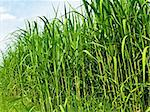 switch grass the renewable support for heating and diesel production Stock Photo - Royalty-Free, Artist: Jochen                        , Code: 400-04756372