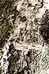 Birch bark texture for background or pattern use Stock Photo - Royalty-Free, Artist: artush                        , Code: 400-04761022