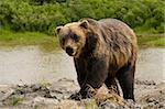 Grizzly bear walking toward the camera Stock Photo - Royalty-Free, Artist: jeffbanke                     , Code: 400-04769130