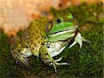 American bullfrog (Rana catesbeiana) Stock Photo - Royalty-Free, Artist: GoodOlga                      , Code: 400-04782733