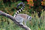 Picture of a beautiful Ring-tailed Lemur from Madagascar Stock Photo - Royalty-Free, Artist: nialat                        , Code: 400-04788829