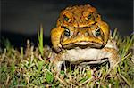 Two cane toads (Bufo marinus) mating in the grass Stock Photo - Royalty-Free, Artist: Jaykayl                       , Code: 400-04789352